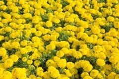 giardino floreale del tagete fotografie stock