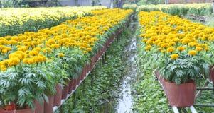 giardino floreale del tagete Immagine Stock Libera da Diritti