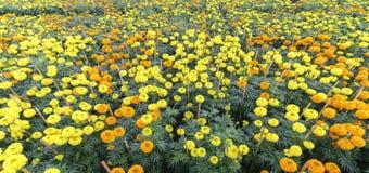 giardino floreale del tagete Fotografia Stock