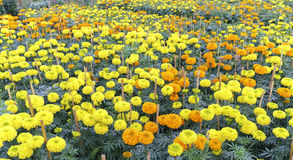 giardino floreale del tagete Immagine Stock
