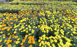 giardino floreale del tagete Immagini Stock Libere da Diritti