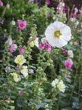 Giardino floreale della malvarosa Fotografie Stock Libere da Diritti