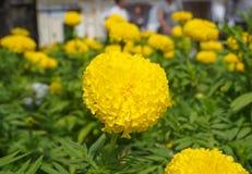 Giardino floreale di giallo del ro del tagete Immagini Stock