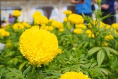 Giardino floreale di giallo del ro del tagete Immagini Stock Libere da Diritti
