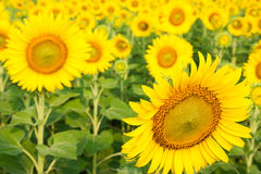 Giardino floreale di Sun Immagine Stock