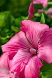 Giardino floreale di trimestris del Lavatera Immagini Stock Libere da Diritti