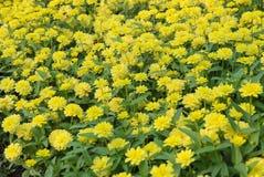 Giardino floreale giallo di zinnia elegans Fotografie Stock