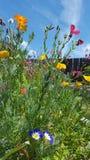 Giardino floreale selvaggio del cielo blu di California Fotografia Stock