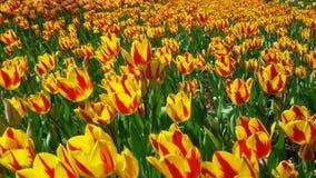 Giardino giallo del tulipano Immagini Stock Libere da Diritti