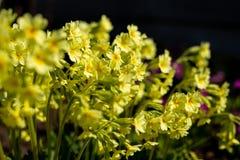 Giardino giallo perenne della primula o della primaverina in primavera Piccole primaverine della molla nella mattina dell'aiola d fotografie stock libere da diritti