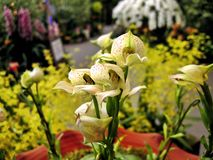 Giardino giapponese dell'orchidea immagini stock
