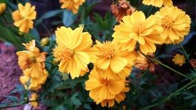 Giardino grazioso Filippine del mazzo giallo dell'universo Fotografia Stock