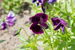 Giardino luminoso della viola in primavera fotografie stock