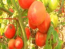 Giardino maturo rosso del pomodoro archivi video