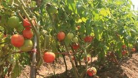 Giardino maturo rosso del pomodoro stock footage