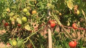 Giardino maturo rosso del pomodoro video d archivio
