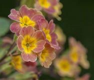 In giardino, molla a Londra - un primo piano di alcuni fiori rosa e gialli Immagine Stock