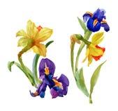 Giardino Narcissus Blooming Flower di estate dell'acquerello su fondo bianco Fotografia Stock Libera da Diritti