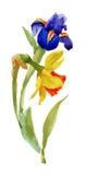 Giardino Narcissus Blooming Flower di estate dell'acquerello su fondo bianco Fotografia Stock