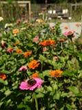 Giardino organico: ape rosa arancione dei fiori di zinnia immagini stock