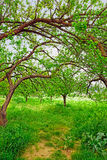 Giardino organico dell'albicocca in Turchia. Immagine Stock