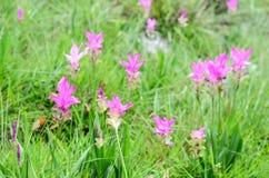 Giardino in pieno di Siam Tulips Immagini Stock