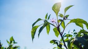 Giardino porpora dei peperoncini rossi Fotografie Stock Libere da Diritti