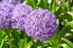 Giardino porpora dell'allium in fioritura Immagini Stock