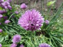 Giardino porpora della erba cipollina del fiore in primavera Immagine Stock