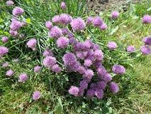 Giardino porpora della erba cipollina del fiore in primavera Fotografia Stock Libera da Diritti