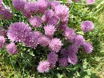 Giardino porpora della erba cipollina del fiore in primavera Fotografia Stock