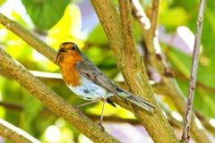 Giardino Robin con il millepiedi in becco del ` s Fotografie Stock Libere da Diritti