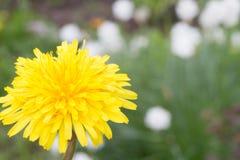 Giardino soleggiato giallo del dente di leone in primavera immagine stock