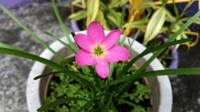 Giardino solo del fiore rosa sul vaso con le foglie verdi Immagini Stock Libere da Diritti