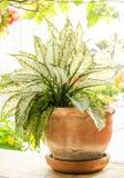 Giardino tailandese del Croton bianco e verde Fotografie Stock