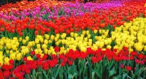 Giardino variopinto del tulipano, bello fiore del tulipano immagini stock libere da diritti
