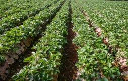 Giardino verde della fragola Immagini Stock Libere da Diritti