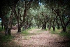 Giardino verde oliva misterioso in Grecia fotografia stock