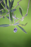 Giardino verde oliva - rami di ulivo Fotografia Stock