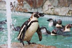 Giardino zoologico dei pinguini Fotografia Stock Libera da Diritti