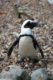 Giardino zoologico del pinguino Fotografia Stock