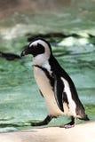 Giardino zoologico del pinguino Fotografie Stock