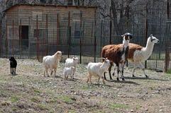 Giardino zoologico della capra Fotografia Stock Libera da Diritti