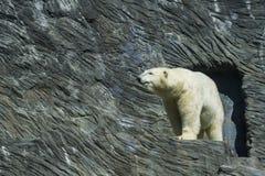 Giardino zoologico Praga dell'orso polare Fotografia Stock