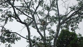 Gibón blanco que se sienta en un árbol metrajes