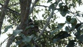 Gibón de Pileated que se sienta en un árbol almacen de metraje de vídeo