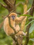 Gibón del lar que descansa sobre rama en selva de la selva tropical Foto de archivo libre de regalías