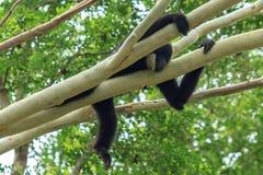 Gibón negro en el árbol imagen de archivo libre de regalías