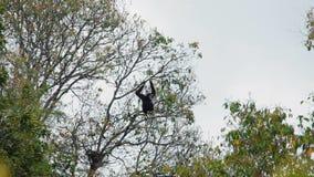 Gibón negro que se sienta en un árbol almacen de video