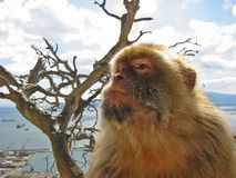 Gib ape. Barbary ape on rock of gibraltar stock images